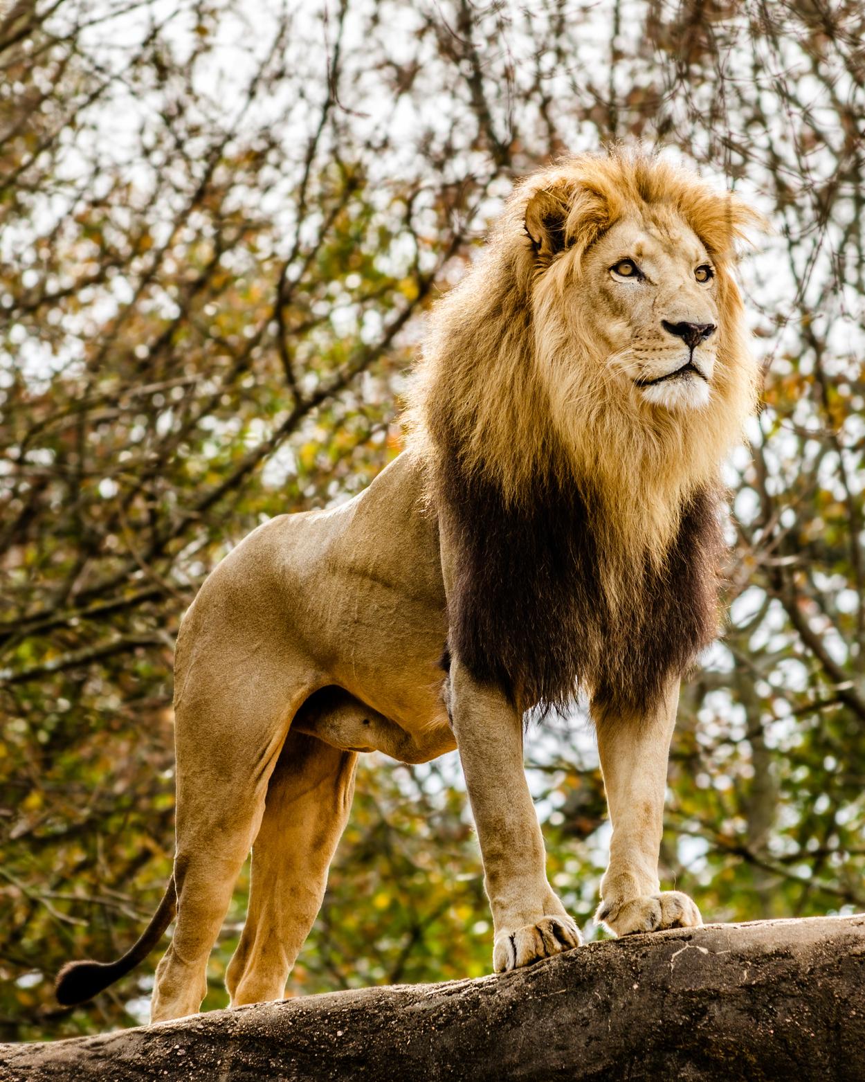 lion habitat great plains zoo delbridge museum of natural history