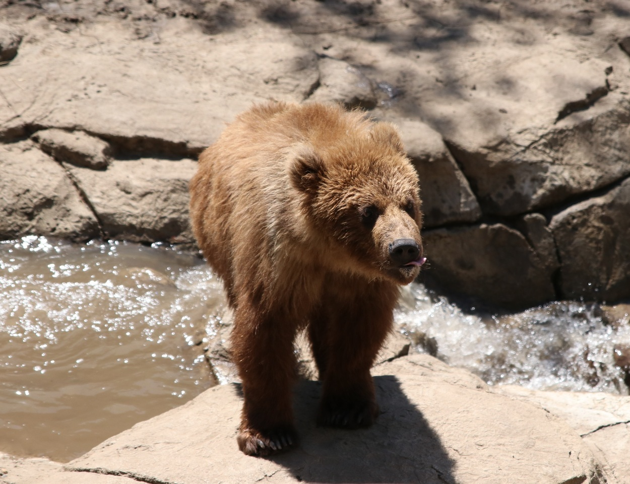 Brown Bear at the Great Plains Zoo
