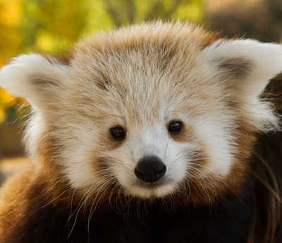 Red Panda Doug Lee 2012 3 Em