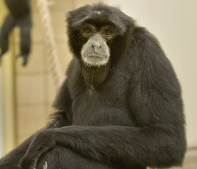 Gpzoo Gibbons 091a