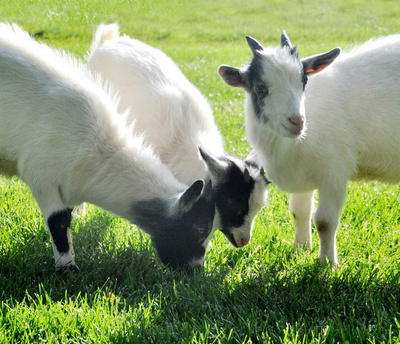 Three Pygmy Goats B