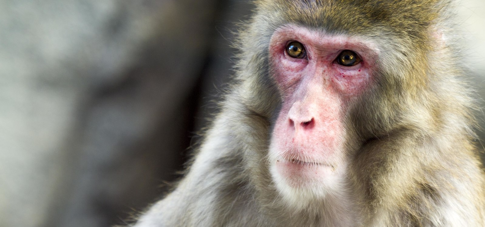 Up close to a Snow Monkey