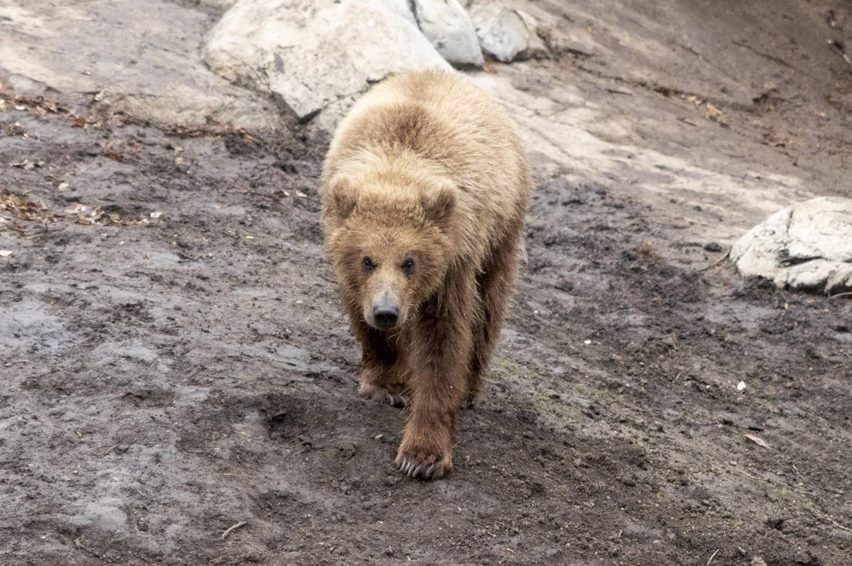 Brown Bear Cub Katmai 2