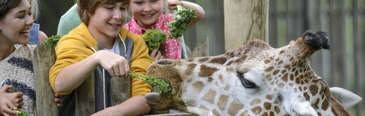 Kids feeding Giraffe